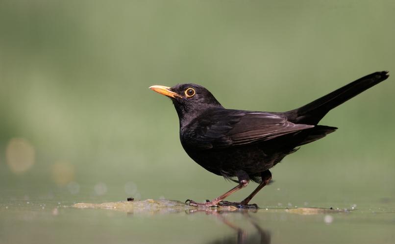 Blackbird Happy Beaks
